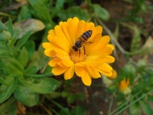 Calendula officinalis - Ringelblume - Blüte