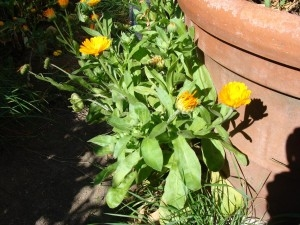 Calendula officinalis - Ringelblume