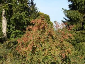Euonymus europaeus - Pfaffenhütchen