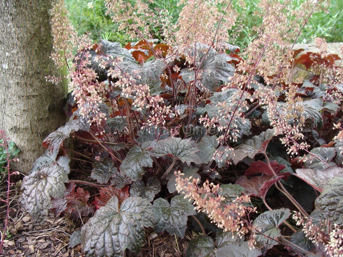 Heuchera micrantha 'Palace Purple' - Silberglöckchen