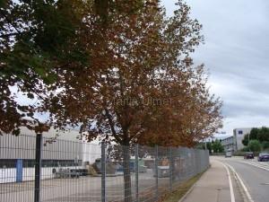 Welke Bäume (z.B. Spitzahorn)